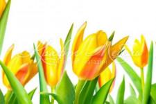 Фартук для кухни Цветы 97 Желтые тюльпаны